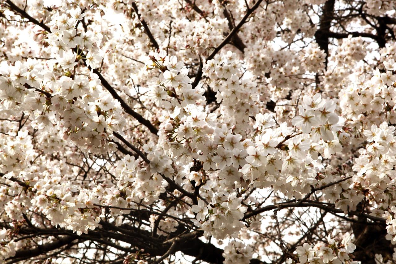 1cherry-blossom-626051_1280
