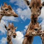 1お給料の手取り額について毎月貯金する余裕はありますか?giraffes-627033_1280_R