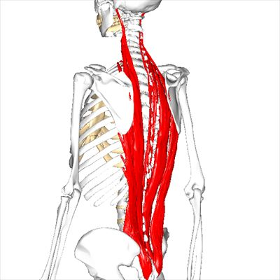 脊柱起立筋群-L2_R