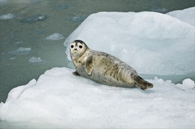 harbor-seal-981732_1280_R