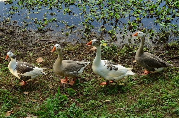 geese-769018_1920_R