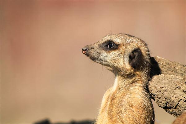 meerkat-700167_1920_R